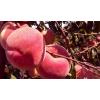优质冬桃红蜜桃树苗价格