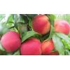 优质红肉蜜桃树苗价格  鼎诺桃树苗基地供应