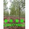 漯河10公分法桐速生品种价格多少钱