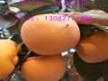 甜柿子苗多少钱