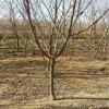 哪里有3公分李子树 哪里李子苗成活率高
