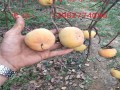 2公分柿子苗多少钱