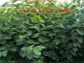 新品种柿子苗哪里有
