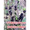 昆明树葡萄苗哪里有树葡萄嘉宝果挂果苗昆明有供应