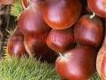 板栗树苗哪里品种好