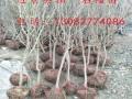哪里有石榴苗 3公分石榴苗多少钱