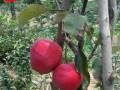 119-06红肉苹果树苗