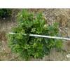 供应室内盆景鸭脚木净化空气 观叶植物 量大价格优惠绿化苗木