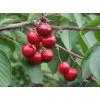 哥伦比亚樱桃苗多少钱一棵